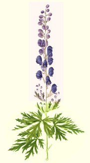Monkshood seeds