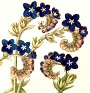 Anchusa flowers