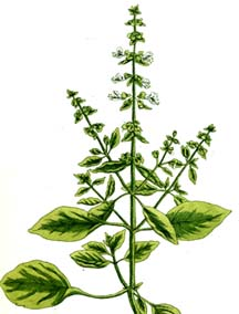 Basil Seeds for Pagan Gardens from Alchemy Works