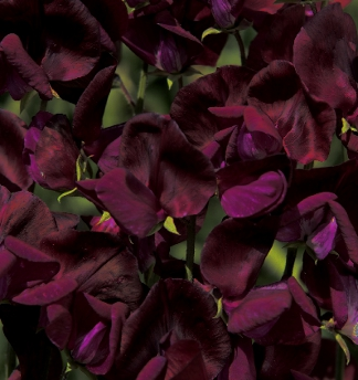 Black Knight Sweet Pea