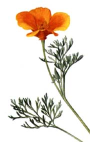 California Poppy Seeds From Alchemy Works Seeds For