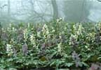 corydalis in woods