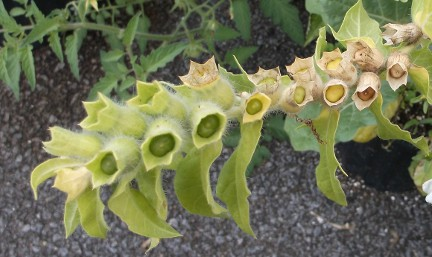 White henbane pods growing in my upstate NY garden 2014