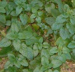 Lemon balm in its first year in my garden