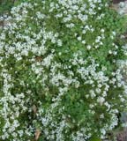 Sweet alyssum growing over mulch with wood sorrel