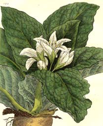 Mandragora officinarum var vernalis