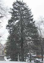 small norway spruce