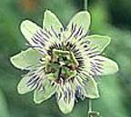 small passionflower for how to grow