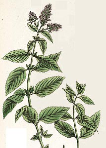 Organic Peppermint Herb from Alchemy Works - Herbs for