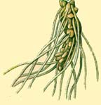 Cowslip root