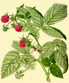 Organic raspberry leaf from Alchemy Works - Herbs for Witchcraft and