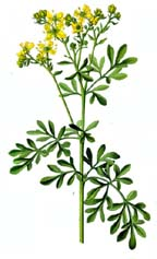 Rue Herb from Alchemy Works - Herbs for Witchcraft and Magick