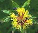 Safflower closeup