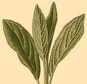 Salvia officinalis engraving
