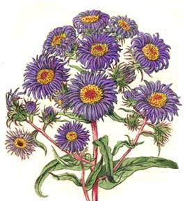 Michaelmas Daisy Seeds from Alchemy Works - Seeds for Magick Herbs ...