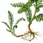 Yarrow rhizomes